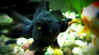 Zwarte vis's Photo